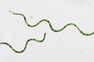 spirulina02